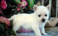 West Highland White Terrier Puppies for sale in Dover, DE, USA. price: NA