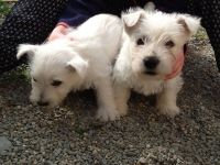 West Highland White Terrier Puppies for sale in Charleston, SC, USA. price: NA