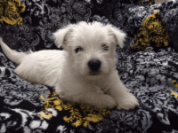 West Highland White Terrier Puppies for sale in Houston, TX 77012, USA. price: NA