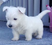 West Highland White Terrier Puppies for sale in Portland, ME, USA. price: NA