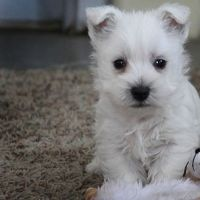 West Highland White Terrier Puppies for sale in Columbus, OH, USA. price: NA
