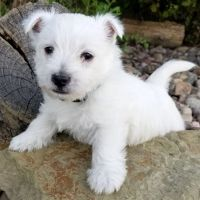 West Highland White Terrier Puppies for sale in Valparaiso, IN, USA. price: NA