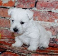 West Highland White Terrier Puppies for sale in Bowling Green, KY, USA. price: NA