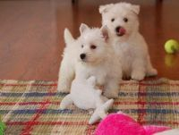 West Highland White Terrier Puppies for sale in Savannah, GA, USA. price: NA