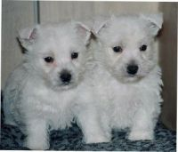 West Highland White Terrier Puppies for sale in Phoenix, AZ, USA. price: NA