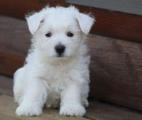 West Highland White Terrier Puppies for sale in Indianapolis, IN, USA. price: NA
