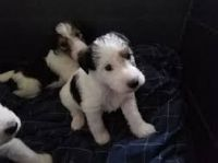 West Highland White Terrier Puppies for sale in California St, San Francisco, CA, USA. price: NA