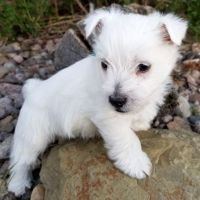 West Highland White Terrier Puppies for sale in Westerville, OH, USA. price: NA