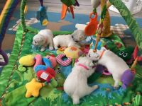 West Highland White Terrier Puppies for sale in Atlantic Ave, New York, NY, USA. price: NA