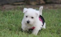 West Highland White Terrier Puppies for sale in Yazoo City, MS 39194, USA. price: NA