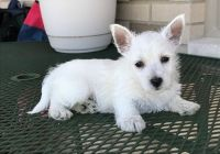 West Highland White Terrier Puppies for sale in Chicago, IL, USA. price: NA