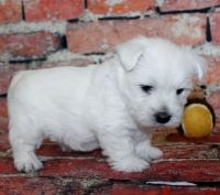 West Highland White Terrier Puppies for sale in San Bernardino County, CA, USA. price: NA