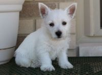 West Highland White Terrier Puppies for sale in Torrance, CA, USA. price: NA