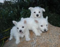 West Highland White Terrier Puppies for sale in Clayton, NC, USA. price: NA