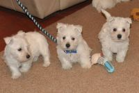 West Highland White Terrier Puppies for sale in San Diego, CA, USA. price: NA