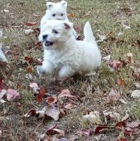 West Highland White Terrier Puppies for sale in Johnstown, PA, USA. price: NA