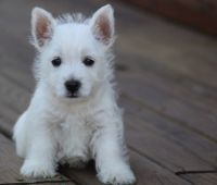 West Highland White Terrier Puppies for sale in Worcester, MA, USA. price: NA