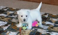 West Highland White Terrier Puppies for sale in Sioux City, IA, USA. price: NA