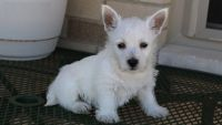 West Highland White Terrier Puppies for sale in Kent, WA, USA. price: NA