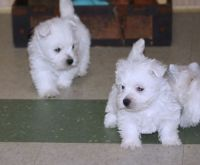 West Highland White Terrier Puppies for sale in Bristol, CT 06010, USA. price: NA