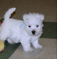 West Highland White Terrier Puppies for sale in Arkansas City, AR 71630, USA. price: NA