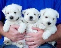 West Highland White Terrier Puppies for sale in Washington Ave, St. Louis, MO, USA. price: NA