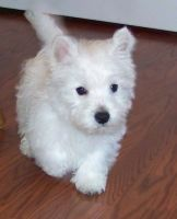 West Highland White Terrier Puppies for sale in Waterboro, ME, USA. price: NA