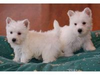 West Highland White Terrier Puppies for sale in Santa Rosa, CA, USA. price: NA