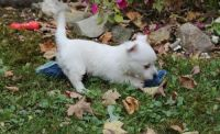 West Highland White Terrier Puppies for sale in Chesnee, SC 29323, USA. price: NA