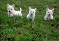 West Highland White Terrier Puppies for sale in Cheyenne, WY, USA. price: NA