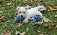 West Highland White Terrier Puppies for sale in Mililani, HI 96789, USA. price: NA