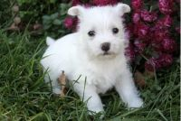 West Highland White Terrier Puppies for sale in Canoga Park, Los Angeles, CA, USA. price: NA