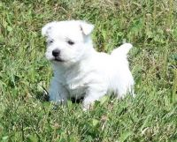 West Highland White Terrier Puppies for sale in Roanoke, VA, USA. price: NA