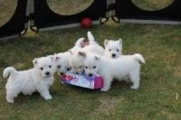 West Highland White Terrier Puppies for sale in Roanoke, VA 24012, USA. price: NA