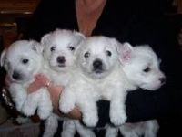 West Highland White Terrier Puppies for sale in Lansing, MI, USA. price: NA