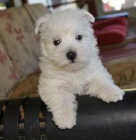 West Highland White Terrier Puppies for sale in Mackville Harrodsburg Rd, Mackville, KY 40040, USA. price: NA