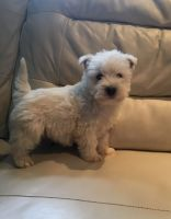 West Highland White Terrier Puppies for sale in Dallas, TX 75207, USA. price: NA