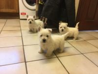 West Highland White Terrier Puppies for sale in Norristown, PA, USA. price: NA