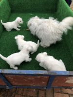 West Highland White Terrier Puppies for sale in San Francisco, CA, USA. price: NA