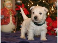 West Highland White Terrier Puppies for sale in TX-121, McKinney, TX, USA. price: NA