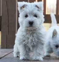 West Highland White Terrier Puppies for sale in Philadelphia, PA 19116, USA. price: NA