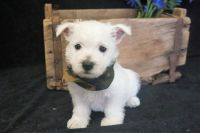 West Highland White Terrier Puppies for sale in Richmond, VA, USA. price: NA