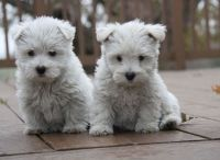West Highland White Terrier Puppies for sale in Longview, TX, USA. price: NA