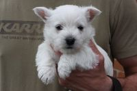 West Highland White Terrier Puppies for sale in Los Andes St, Lake Forest, CA 92630, USA. price: NA