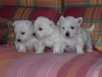 West Highland White Terrier Puppies for sale in Houston, TX, USA. price: NA