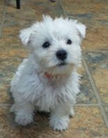 West Highland White Terrier Puppies for sale in Decker, MT 59025, USA. price: NA