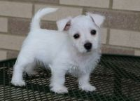 West Highland White Terrier Puppies for sale in Springfield, MA, USA. price: NA