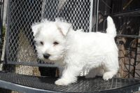 West Highland White Terrier Puppies for sale in Fort Wayne, IN, USA. price: NA