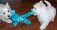 West Highland White Terrier Puppies for sale in Frisco, TX, USA. price: NA