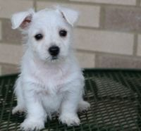 West Highland White Terrier Puppies for sale in Detroit, MI, USA. price: NA